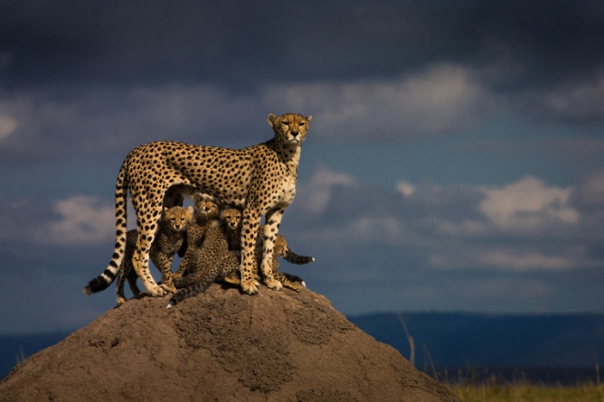 Her name is Malaika. She is well known in Masai Mara reservation (Kenya). her behavior towards her cubs is a great example of perfect motherhood. She spends the whole day trying to keep her cubs safe. After a lioness killed one of her cubs, she is left with five cubs. Series of wildlife images taken in Masai Mara reserve in Africa